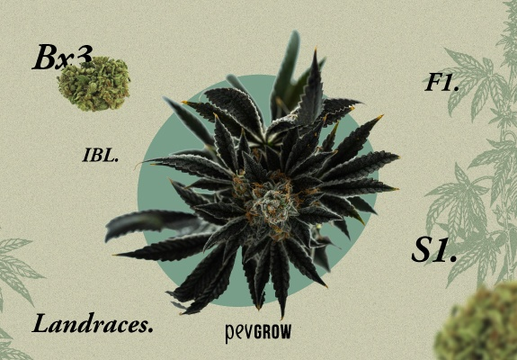Image of a cannabis plant surrounded by concepts that sometimes accompany the name of some strain
