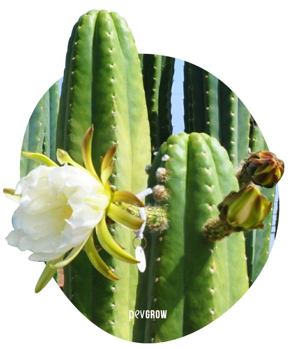 Image of a San Pedro with his characteristic flower*
