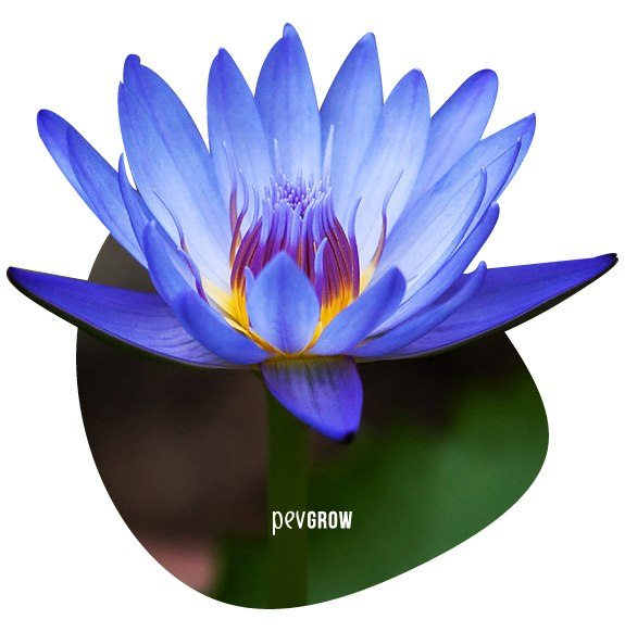 Photograph of a beautiful blue Lotus flower in its natural state*