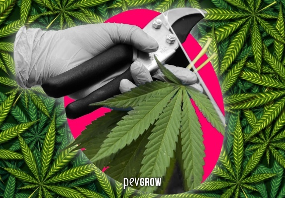 Image showing a gloved hand with pruning shears on a marijuana plant.
