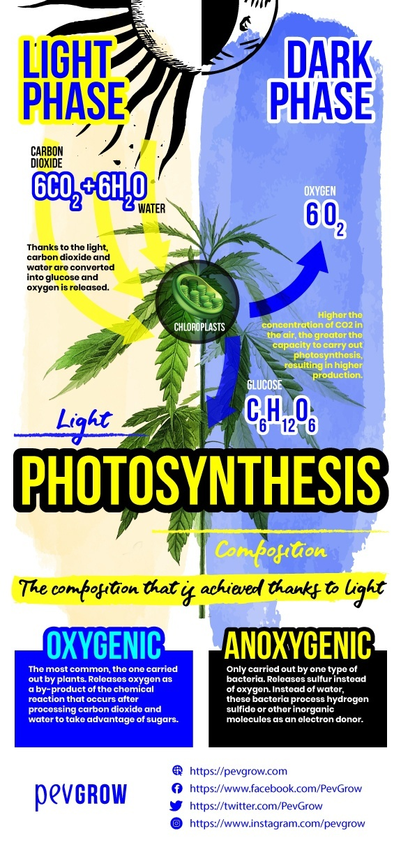 Infographic where you can see the actions that the plant performs during the light and dark phases of photosynthesis *