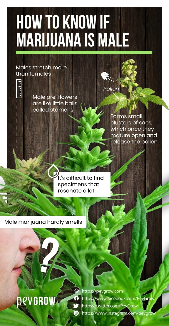 Image showing the different flowers of male and female marijuana plants *